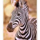 NLC Team Zebra