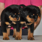Ruled by Rottweilers