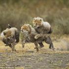 Climate Neutral Cheetahs