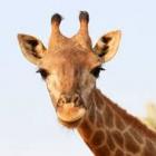 NLC Team Giraffe
