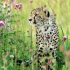 I am Cheetah