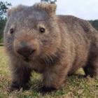 Wombat Walkers
